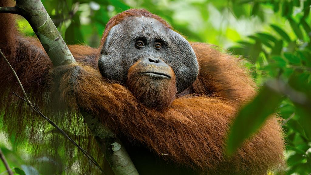 Orangutans May Be Closest Human Relatives, Not Chimps