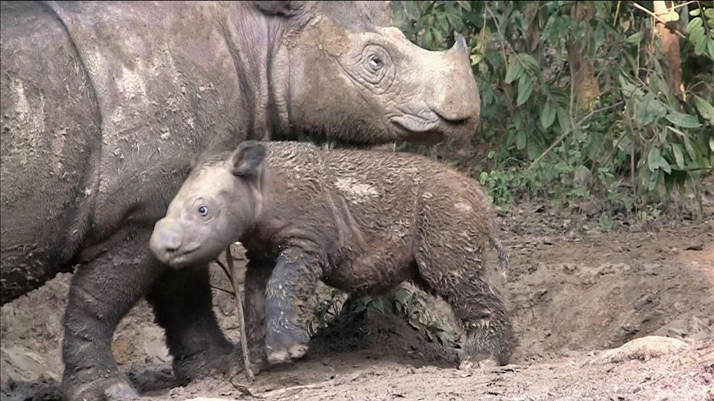 Sumatran Rhinos Are Nearly Gone—New Plan Launched to Save Them