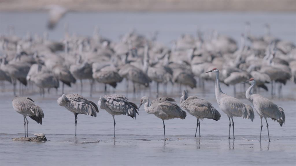 Sandhill Crane National Geographic >> Watch Central Nebraska S Annual Sandhill Crane Migration