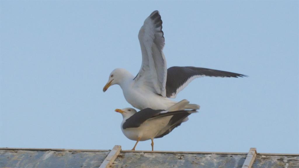 Watch the Awkward Balancing Act of Seagull Mating