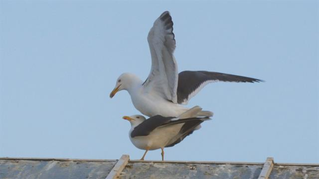for seagulls mating is a balancing act