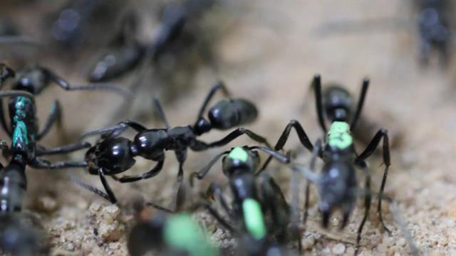 'Paramedic' Ants Are the First to Rescue and Heal Their Wounded Comrades