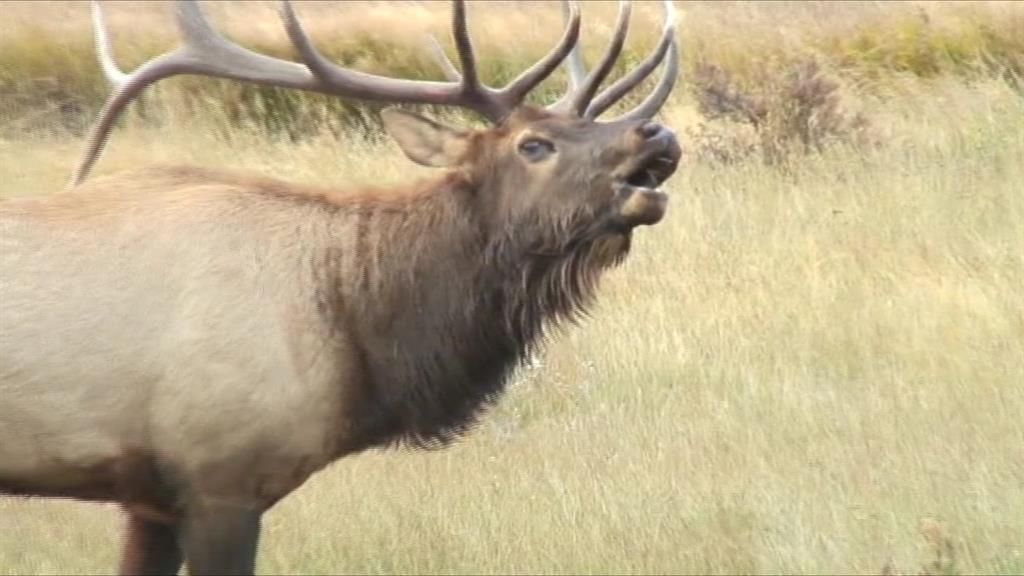 Hear Elk Scream Like Demons From Lord of the Rings