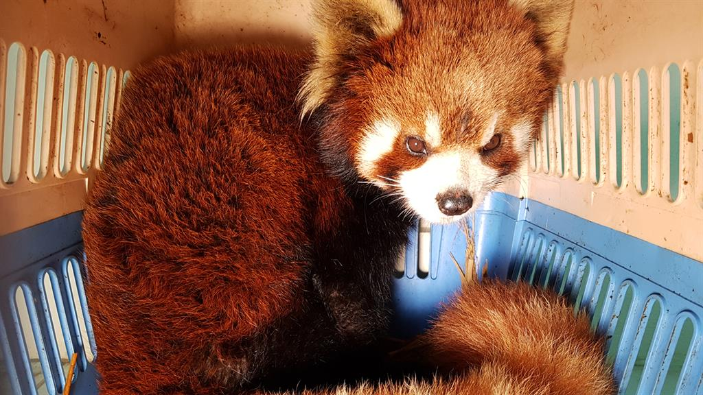 The Endangered Red Panda May Be the Next Black-Market Pet