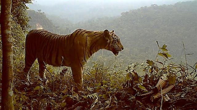 Extremely Endangered Tiger Losing Habitat—and Fast