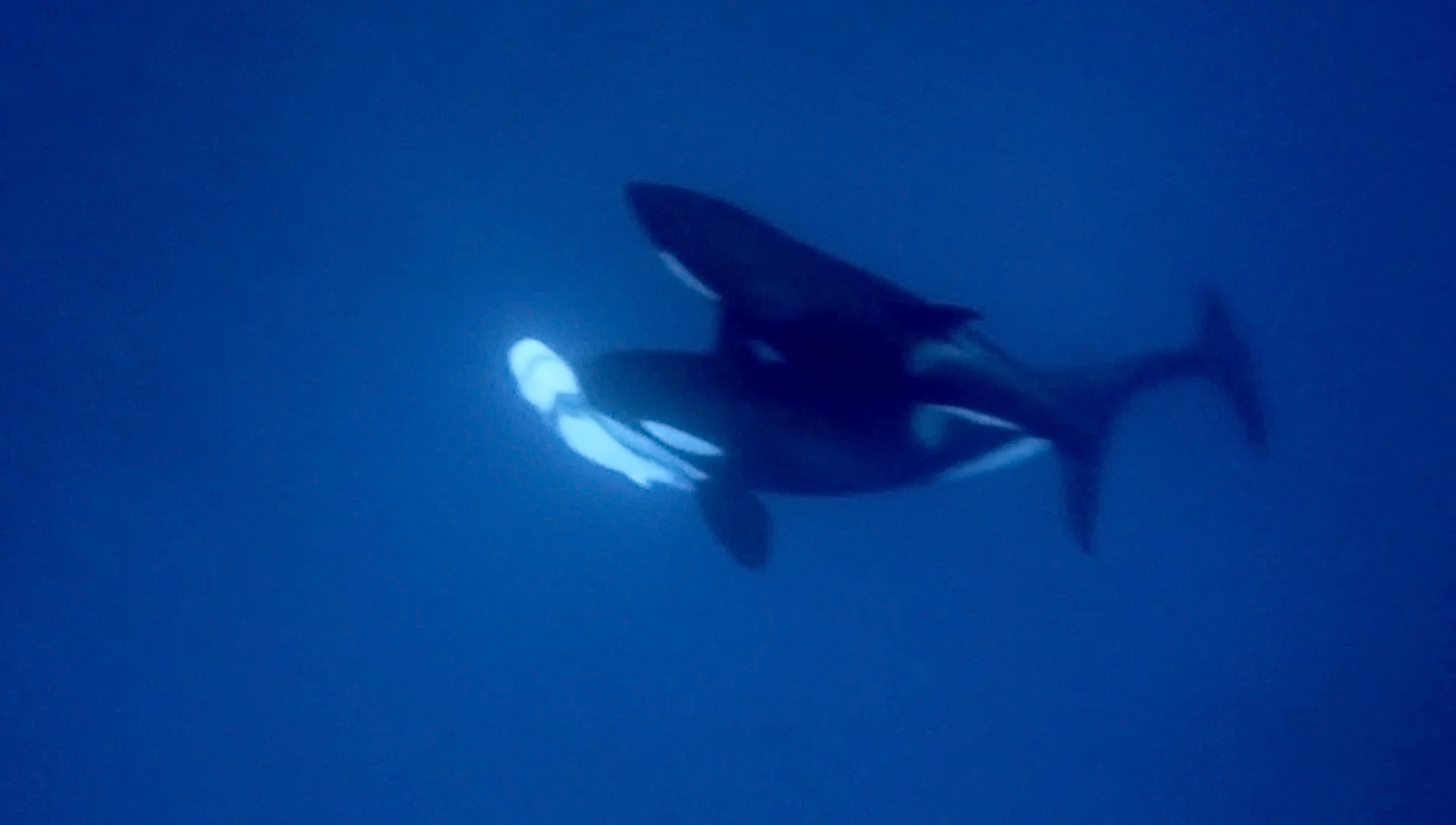How orcas hunt great whites fascinates biologists