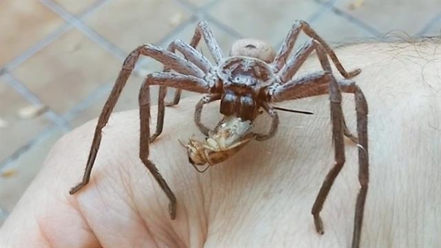 Watch a Giant Spider Devour a Cricket on a Man's Hand  Watch a Giant S...