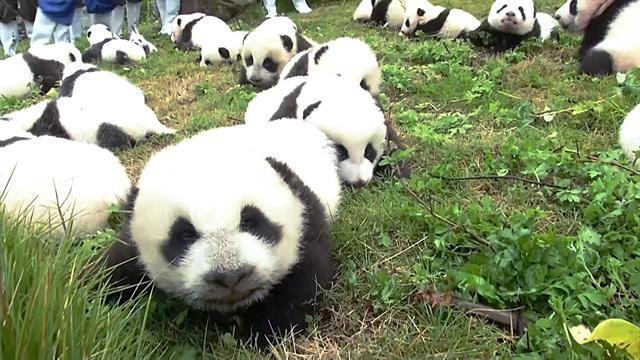 video.nationalgeographic.com - Record: 42 Pandas Born in Breeding Program This Year