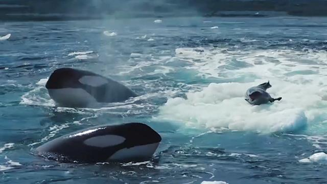 Orcas Hunting Seal Video in Antarctica Reveals Dolphin Intelligence