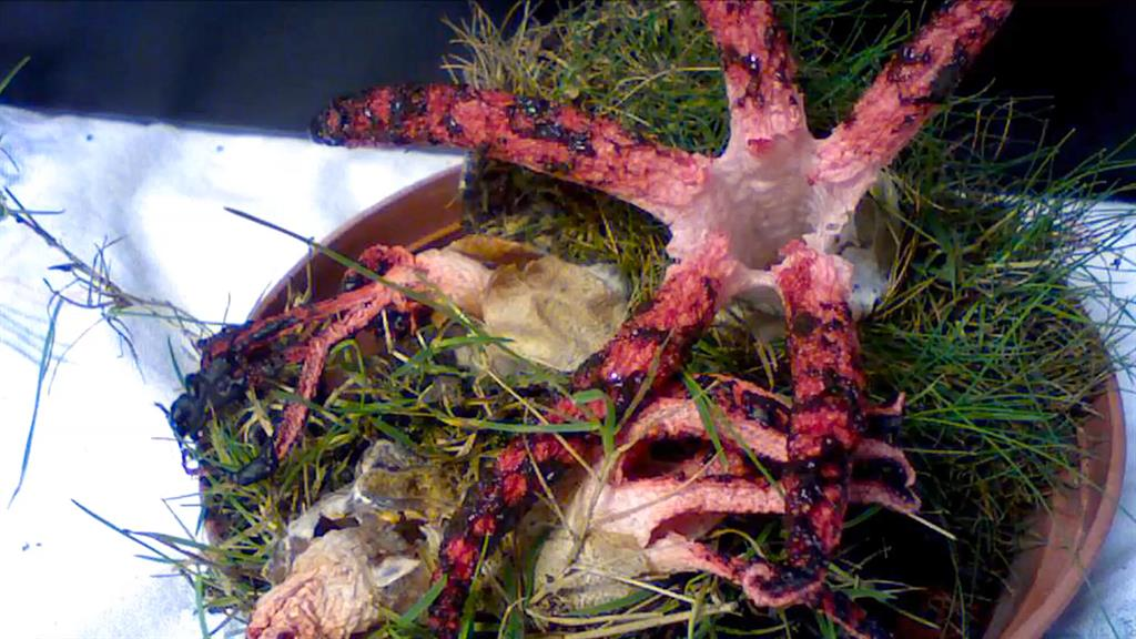 Watch: The Devil's Fingers Fungus Will Haunt Your Dreams