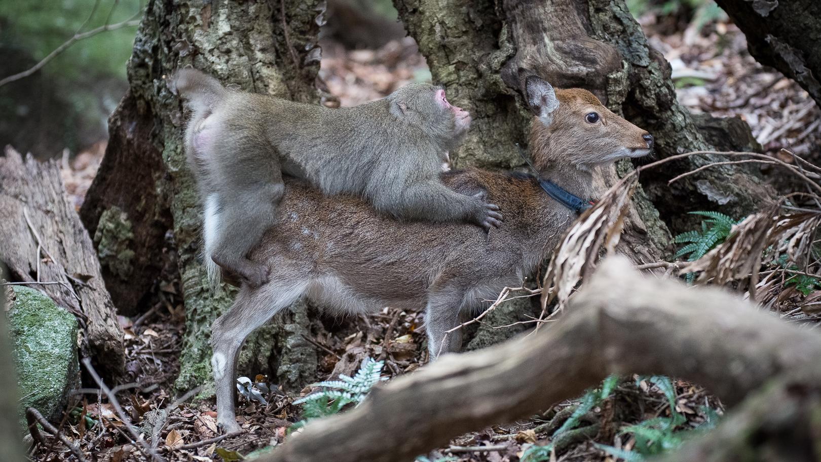 Animal Sec Movies monkey tries to mate with deer (rare interspecies behavior)