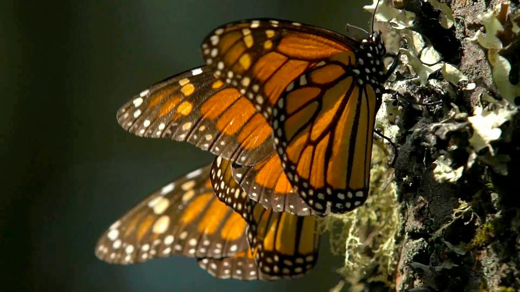 cba0c899c Swarms of Monarch Butterflies Go Here Every Winter