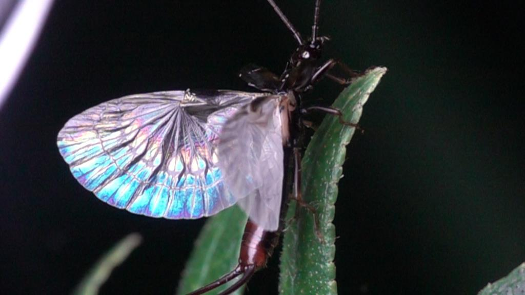 How earwigs' folding wings break the laws of origami