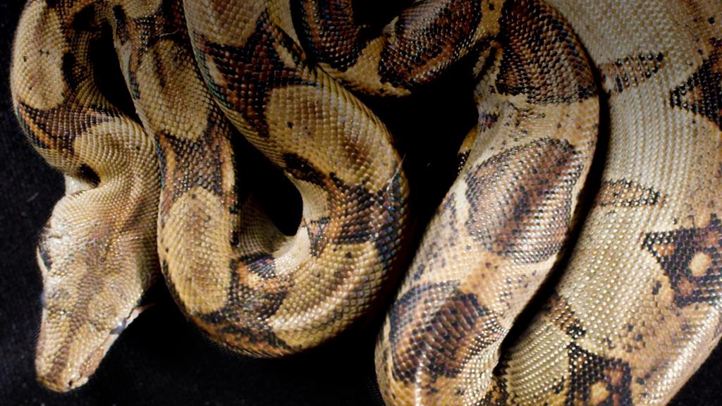 What You Need to Know About Boa Constrictors