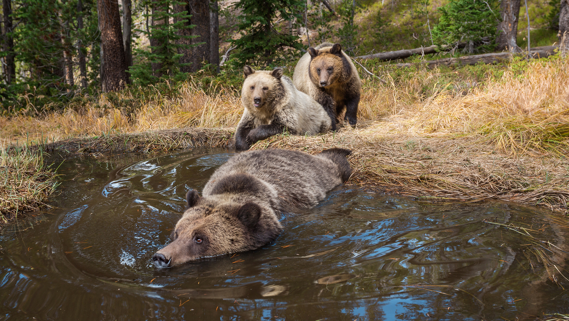 Exclusive Bear Bathtub Caught On Camera In Yellowstone