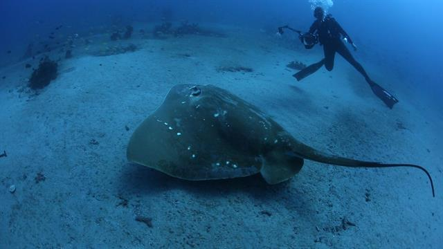 The ocean's largest, rarest stingray revealed in new video thumbnail
