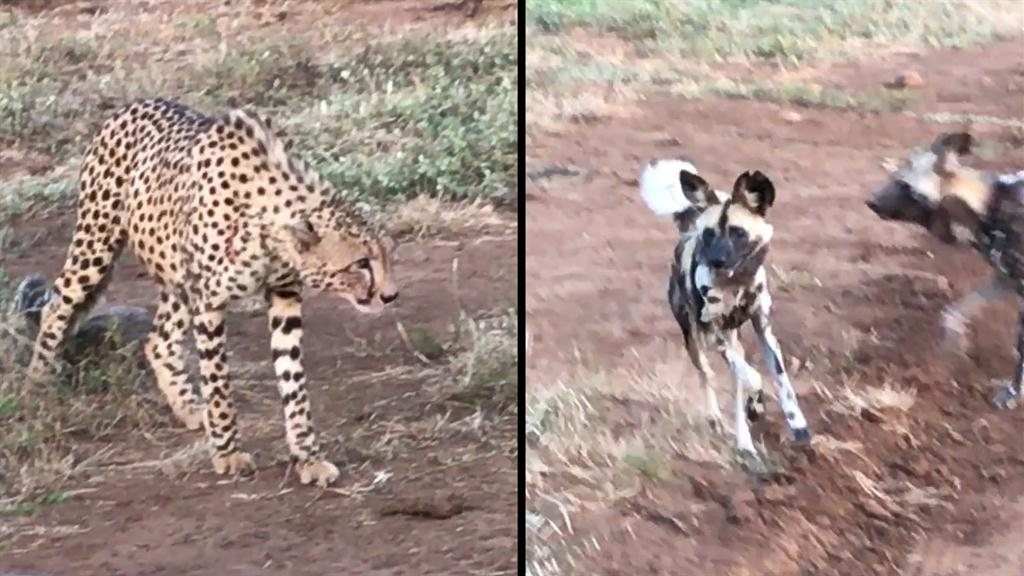 Cheetahs vs  Wild Dogs: Who Will Win This Food Fight?