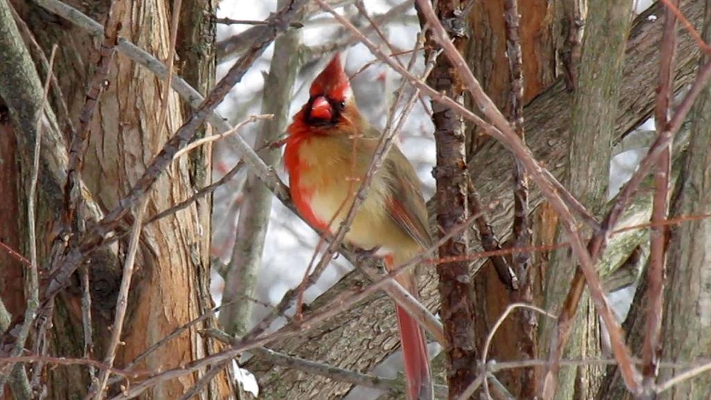 Rare half-male, half-female cardinal spotted in Pennsylvania