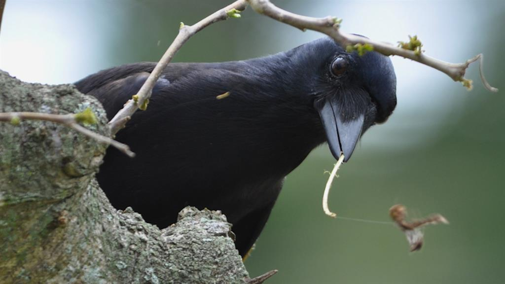 Tool-Making Crows Are Even Smarter Than We Thought