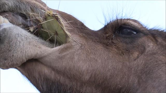 This is How Camels Can Eat Spikey Cacti