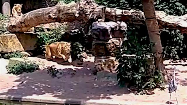 National Zoo Lion Shera Jpg