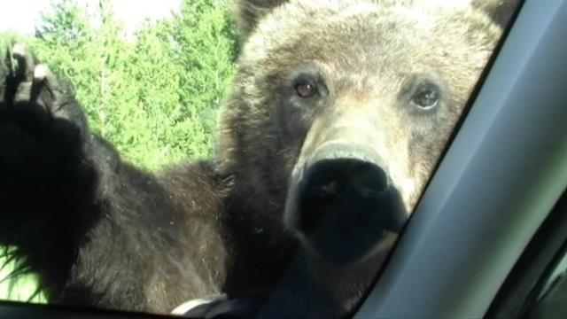Car For Kids >> Too Close For Comfort: Grizzly Bear Climbs on Car