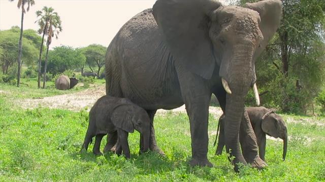 against the odds rare african elephant twins are thriving