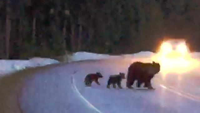 Famous Grandma Grizzly Bear Has Twins At 21