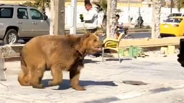 P 51 For Sale >> Escaped Bear Startles Pedestrians on Crowded Street in Basra, Iraq