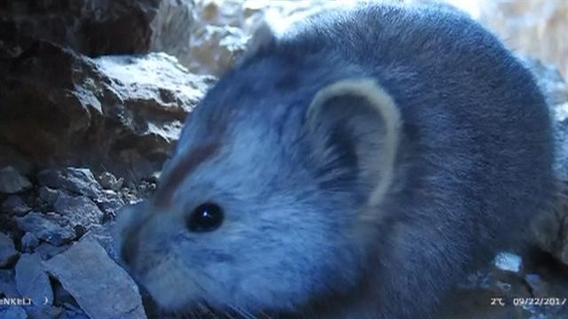 photo image Rare Bunny-Faced Mammal Captured on Video