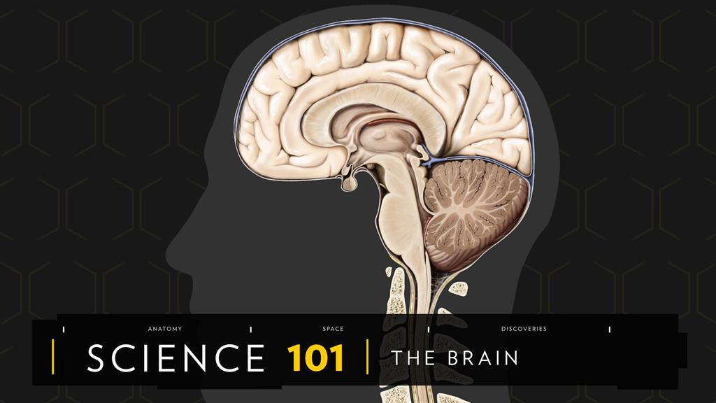 Human Brain: facts and information