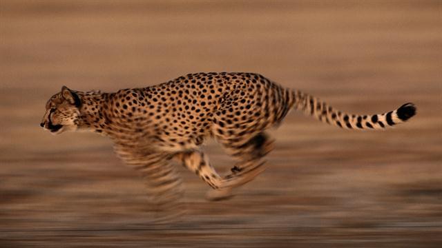watch are cheetahs running toward extinction