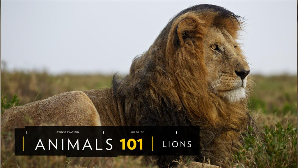 Asiatic Lion | National Geographic