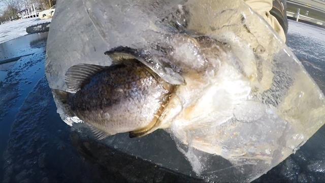 One fish frozen while eating another a rare discovery for Big fish screen printing