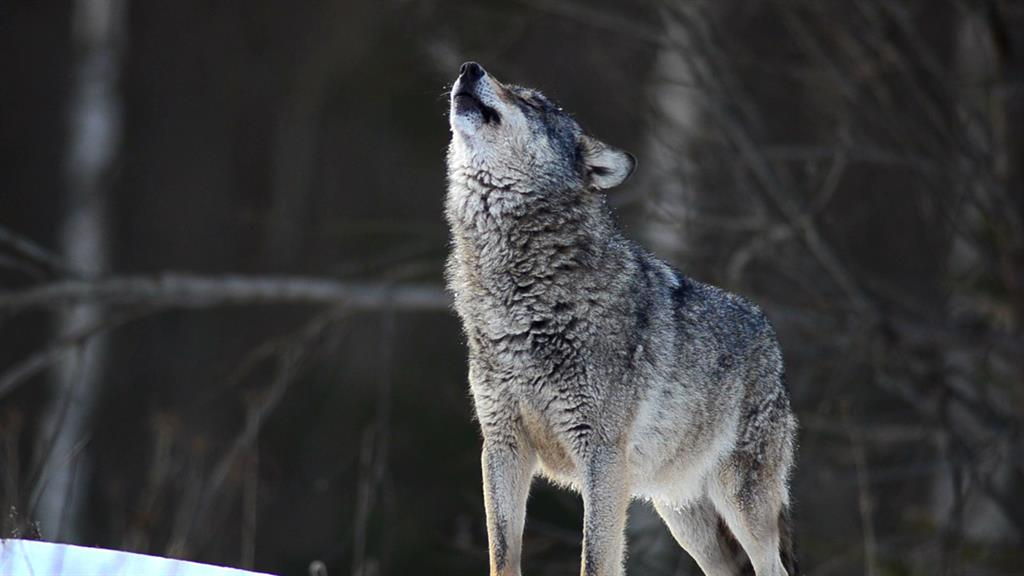 Wolf | National Geographic