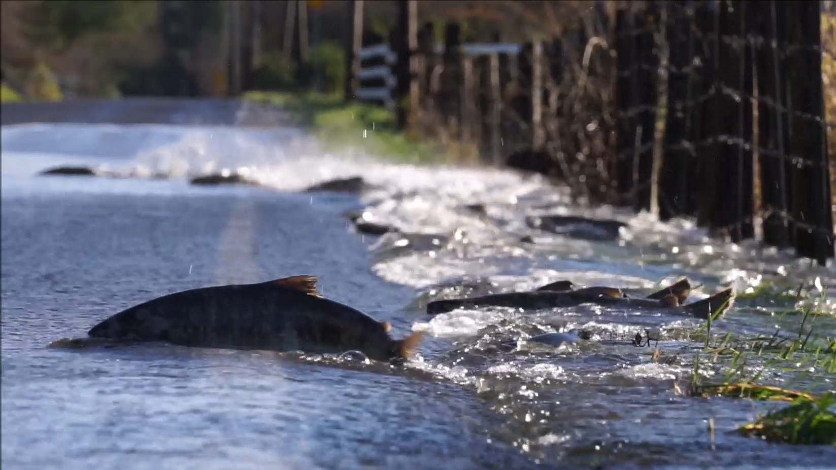 Watch: Why Did These Salmon Cross the Road?