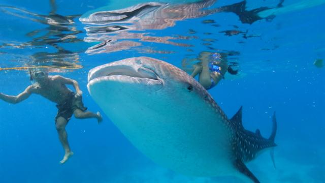 Hope Emerges for Whale Sharks, Despite New Endangered Status