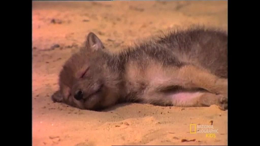 Gray Wolf Pictures Facts And Map - Map videos for kids