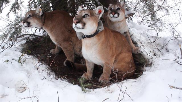 gratis cougar livetime norweigian