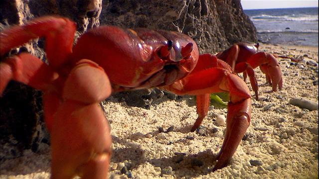 Millions Of Red Crabs Swarm Christmas Island Every Year
