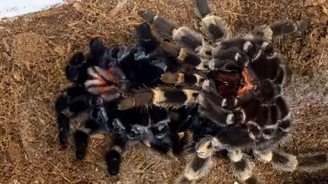 photo image A Tarantula Sheds its Skin in New Time-Lapse Video