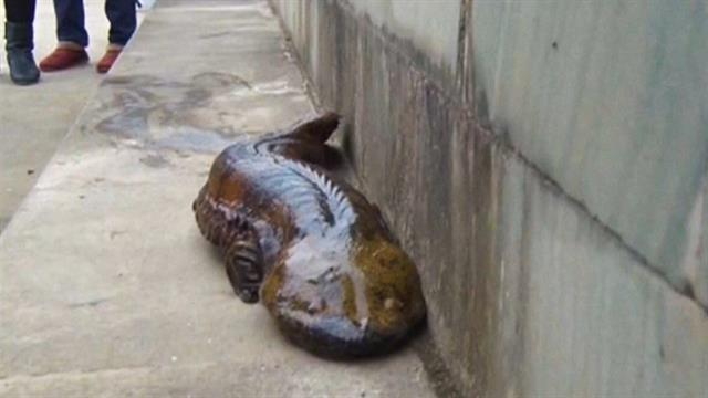 chinese giant salamander is 5 species�and they�re threatened