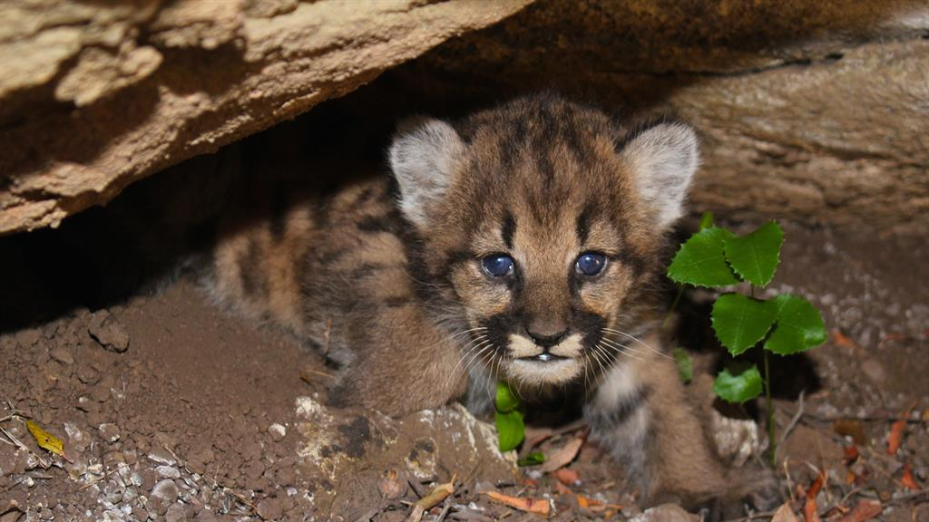 Den of Mountain Lion Kittens Found in Unlikely Place