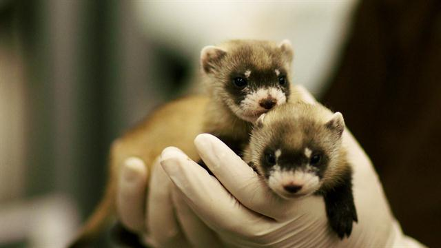 Black Footed Ferret Babies