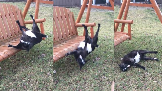 This Swing Is Just Too Much For Fainting Goat