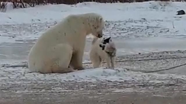 Watch What Happens When A Polar Bear Plays With A Dog