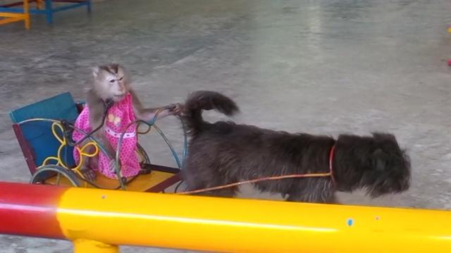 UNESCO Biosphere Reserve Drops Monkey Circus