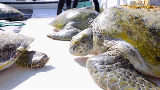 Turtles Urinate Via Their Mouthsa First