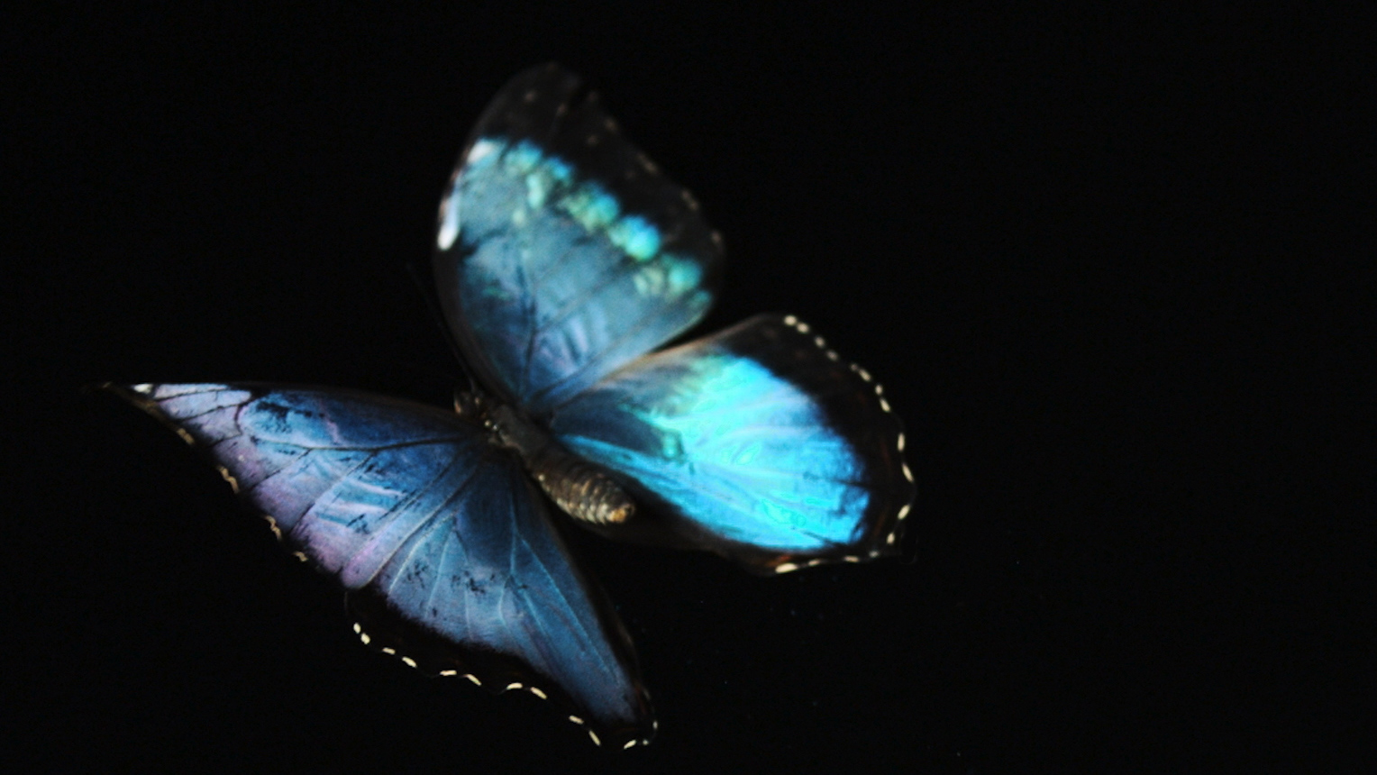 72cde21a1 See a Brilliant Blue Butterfly Take Flight for the First Time