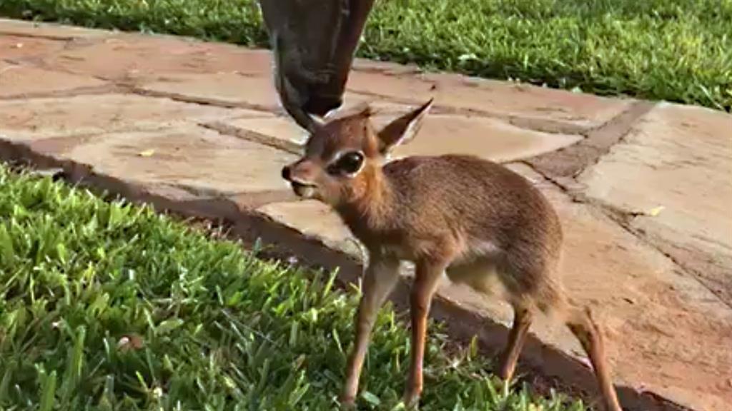 Doe Antelopes..